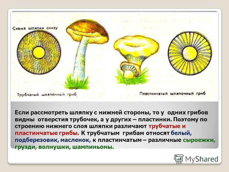 Если рассмотреть шляпку с нижней стороны, то у одних грибов видны отверстия трубочек, а у других – пластинки. Поэтому по строению нижнего слоя шляпки различают трубчатые и пластинчатые грибы. К трубчатым грибам относят белый, подберезовик, масленок,