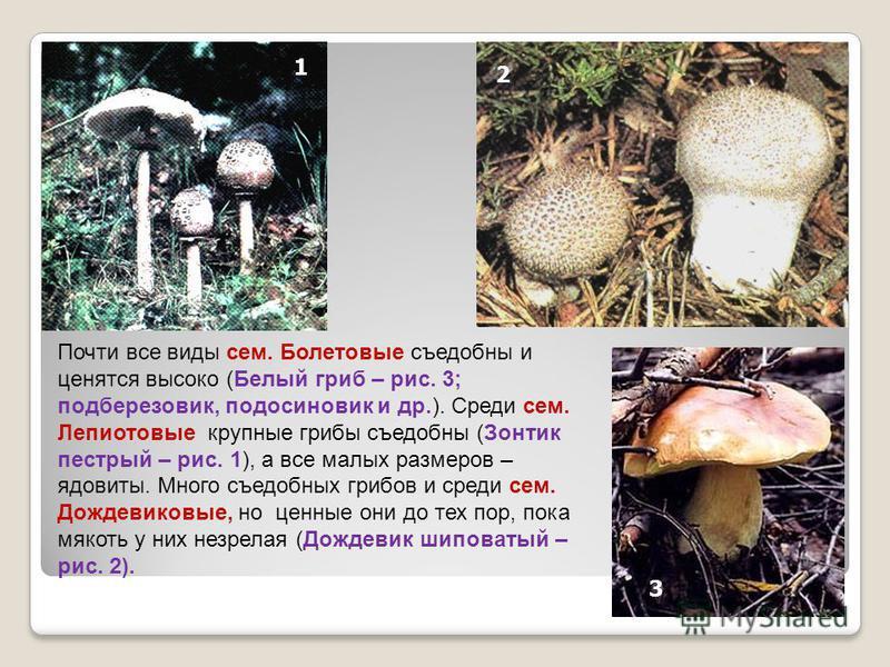 Почти все виды сем. Болетовые съедобны и ценятся высоко (Белый гриб – рис. 3; подберезовик, подосиновик и др.). Среди сем. Лепиотовые крупные грибы съедобны (Зонтик пестрый – рис. 1), а все малых размеров – ядовиты. Много съедобных грибов и среди сем