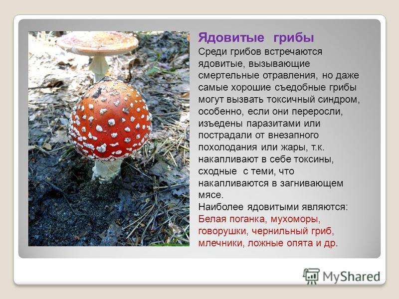 Ядовитые грибы Среди грибов встречаются ядовитые, вызывающие смертельные отравления, но даже самые хорошие съедобные грибы могут вызвать токсичный синдром, особенно, если они переросли, изъедены паразитами или пострадали от внезапного похолодания или