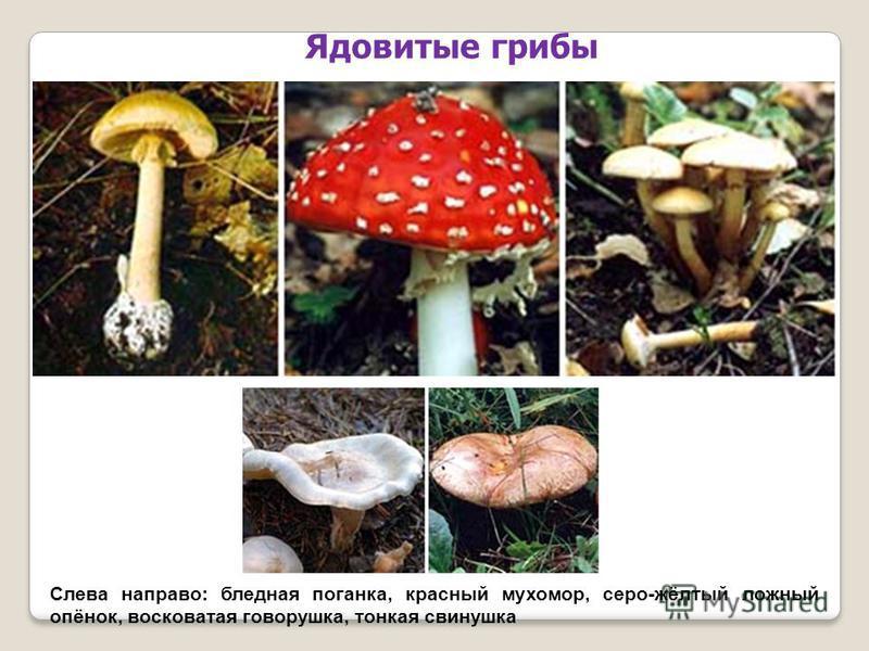 Слева направо: бледная поганка, красный мухомор, серо-жёлтый ложный опёнок, восковатая говорушка, тонкая свинушка Ядовитые грибы