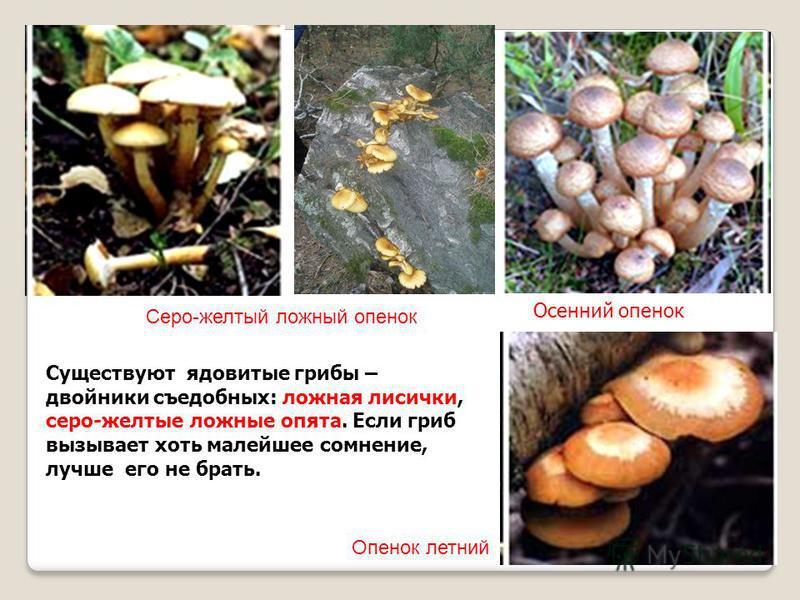 Серо-желтый ложный опенок Осенний опенок Опенок летний Существуют ядовитые грибы – двойники съедобных: ложная лисички, серо-желтые ложные опята. Если гриб вызывает хоть малейшее сомнение, лучше его не брать.