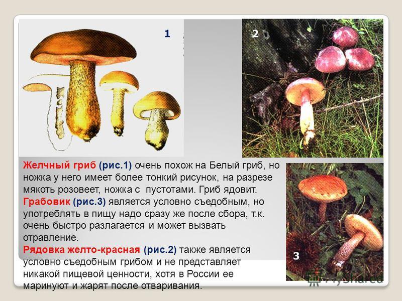 Желчный гриб (рис.1) очень похож на Белый гриб, но ножка у него имеет более тонкий рисунок, на разрезе мякоть розовеет, ножка с пустотами. Гриб ядовит. Грабовик (рис.3) является условно съедобным, но употреблять в пищу надо сразу же после сбора, т.к.