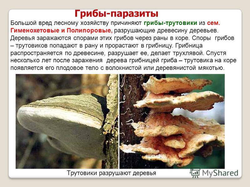 Грибы-паразиты Трутовики разрушают деревья Большой вред лесному хозяйству причиняют грибы-трутовики из сем. Гименохетовые и Полипоровые, разрушающие древесину деревьев. Деревья заражаются спорами этих грибов через раны в коре. Споры грибов – трутовик