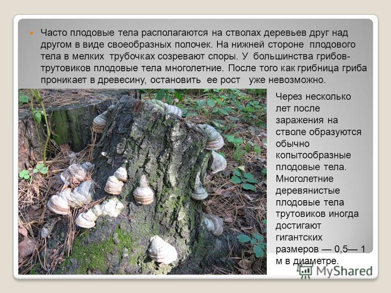 Часто плодовые тела располагаются на стволах деревьев друг над другом в виде своеобразных полочек. На нижней стороне плодового тела в мелких трубочках созревают споры. У большинства грибов- трутовиков плодовые тела многолетние. После того как грибниц
