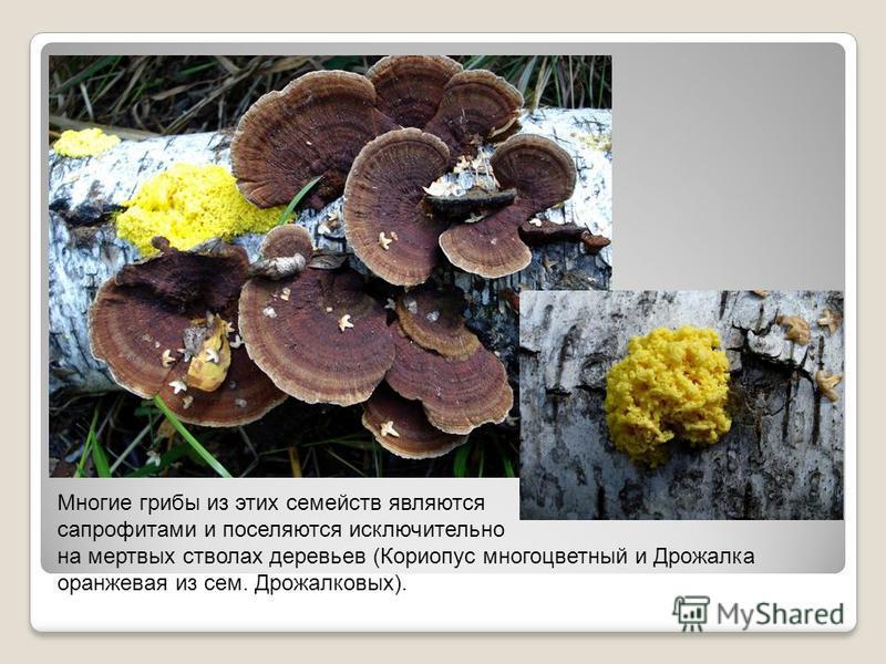Многие грибы из этих семейств являются сапрофитами и поселяются исключительно на мертвых стволах деревьев (Кориопус многоцветный и Дрожалка оранжевая из сем. Дрожалковых).