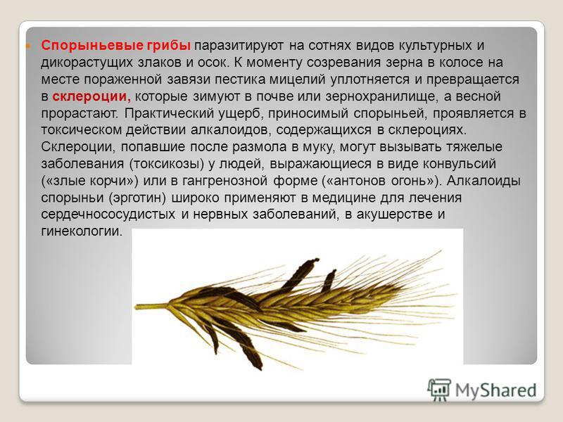 Спорыньевые грибы паразитируют на сотнях видов культурных и дикорастущих злаков и осок. К моменту созревания зерна в колосе на месте пораженной завязи пестика мицелий уплотняется и превращается в склероции, которые зимуют в почве или зернохранилище,