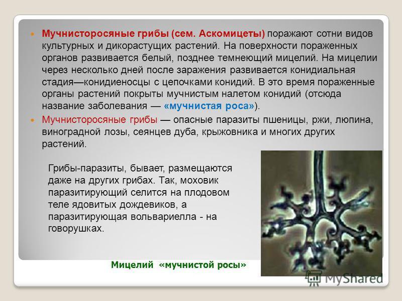 Мучнисторосяные грибы (сем. Аскомицеты) поражают сотни видов культурных и дикорастущих растений. На поверхности пораженных органов развивается белый, позднее темнеющий мицелий. На мицелии через несколько дней после заражения развивается конидиальная