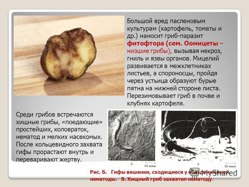 Большой вред пасленовым культурам (картофель, томаты и др.) наносит гриб-паразит фитофтора (сем. Оомицеты – низшие грибы), вызывая некроз, гниль и язвы органов. Мицелий развивается в межклетниках листьев, а спороносцы, пройдя через устьица образуют б