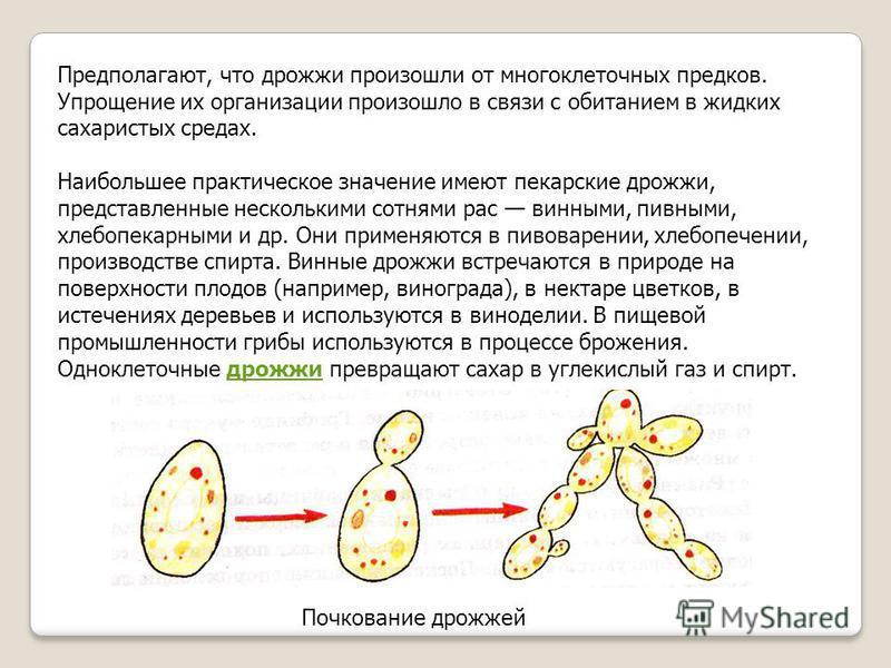 Предполагают, что дрожжи произошли от многоклеточных предков. Упрощение их организации произошло в связи с обитанием в жидких сахаристых средах. Наибольшее практическое значение имеют пекарские дрожжи, представленные несколькими сотнями рас винными,