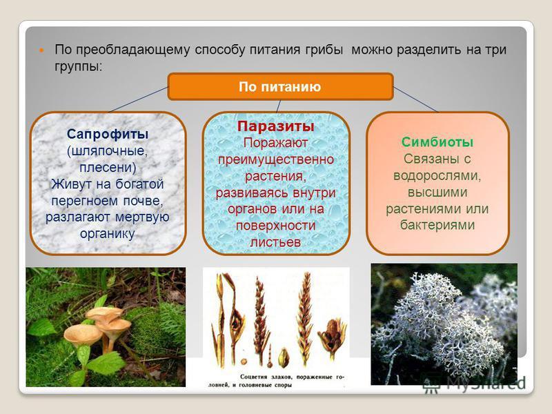По преобладающему способу питания грибы можно разделить на три группы: По питанию Сапрофиты (шляпочные, плесени) Живут на богатой перегноем почве, разлагают мертвую органику Паразиты Поражают преимущественно растения, развиваясь внутри органов или на