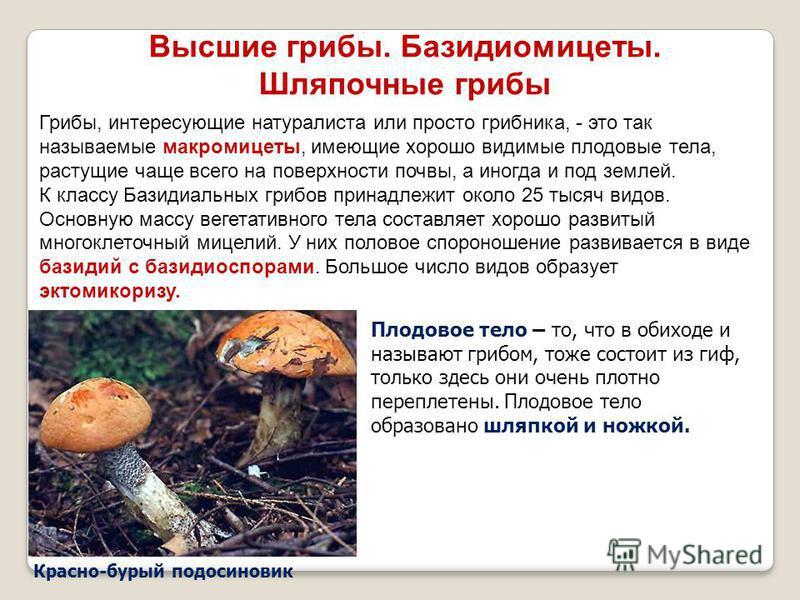 Красно-бурый подосиновик Высшие грибы. Базидиомицеты. Шляпочные грибы Грибы, интересующие натуралиста или просто грибника, - это так называемые макромицеты, имеющие хорошо видимые плодовые тела, растущие чаще всего на поверхности почвы, а иногда и по
