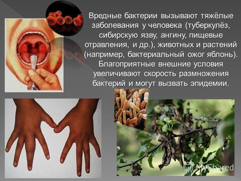 Вредные бактерии вызывают тяжёлые заболевания у человека (туберкулёз, сибирскую язву, ангину, пищевые отравления, и др.), животных и растений (например, бактериальный ожог яблонь). Благоприятные внешние условия увеличивают скорость размножения бактер