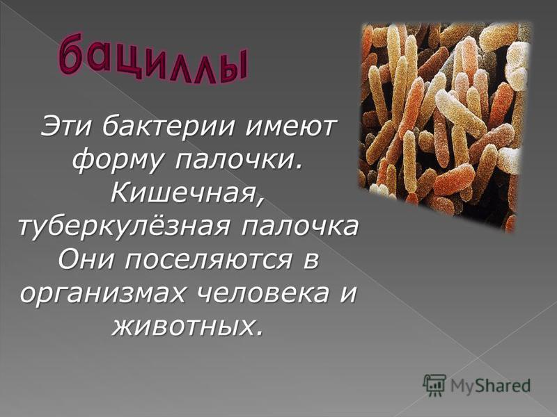 Эти бактерии имеют форму палочки. Кишечная, туберкулёзная палочка Они поселяются в организмах человека и животных.