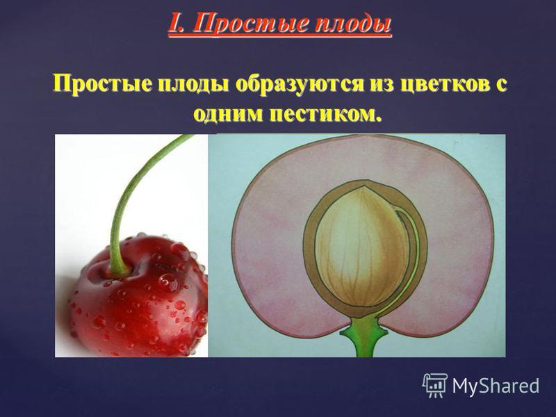 I. Простые плоды Простые плоды образуются из цветков с одним пестиком.