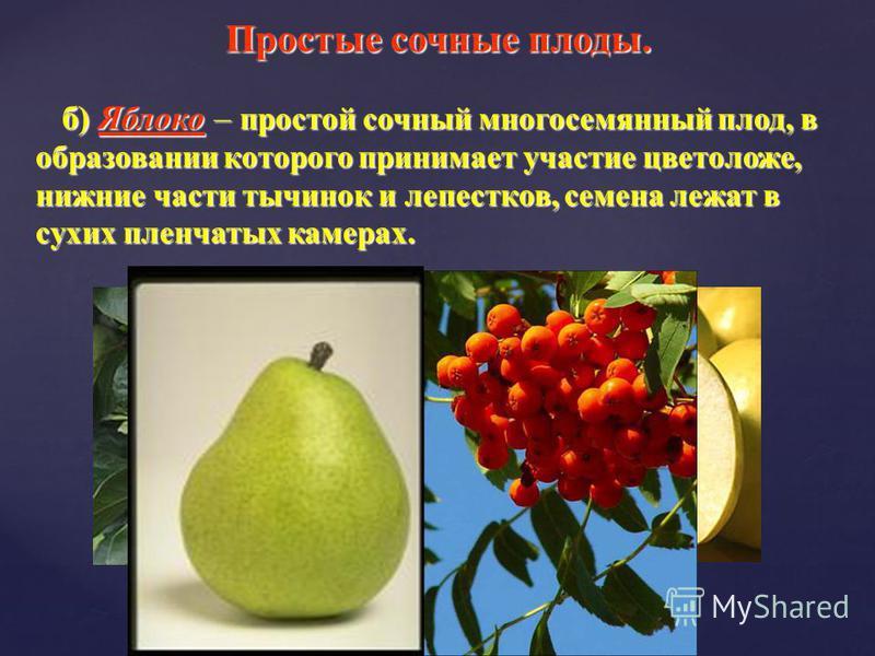 б) Яблоко – простой сочный многосемянный плод, в образовании которого принимает участие цветоложе, нижние части тычинок и лепестков, семена лежат в сухих пленчатых камерах. б) Яблоко – простой сочный многосемянный плод, в образовании которого принима