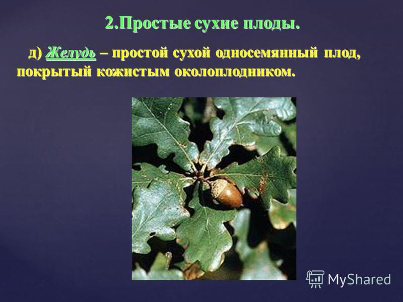 д) Желудь – простой сухой односемянный плод, покрытый кожистым околоплодником. д) Желудь – простой сухой односемянный плод, покрытый кожистым околоплодником. 2. Простые сухие плоды.