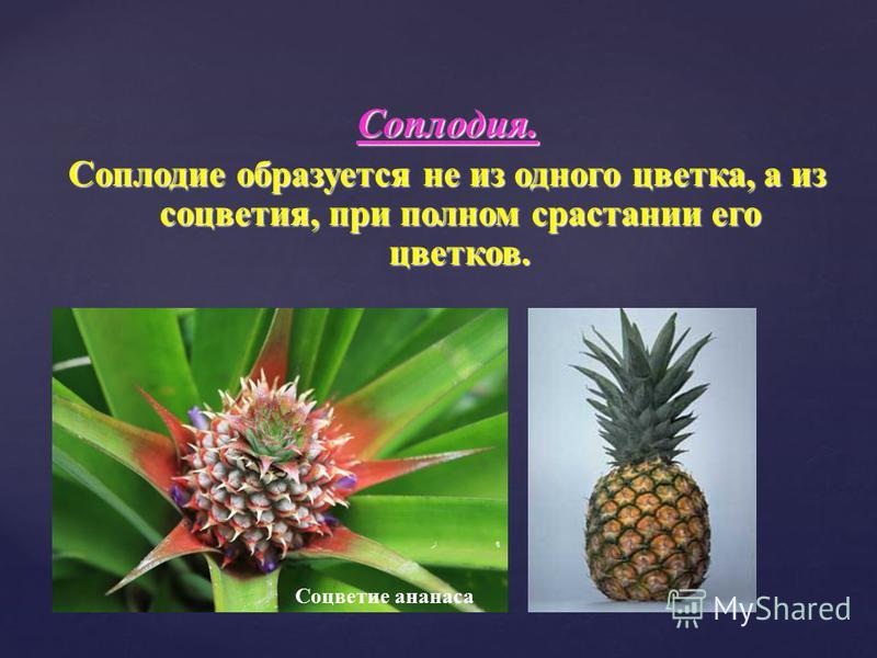 Соплодия. Соплодие образуется не из одного цветка, а из соцветия, при полном срастании его цветков. Соцветие ананаса