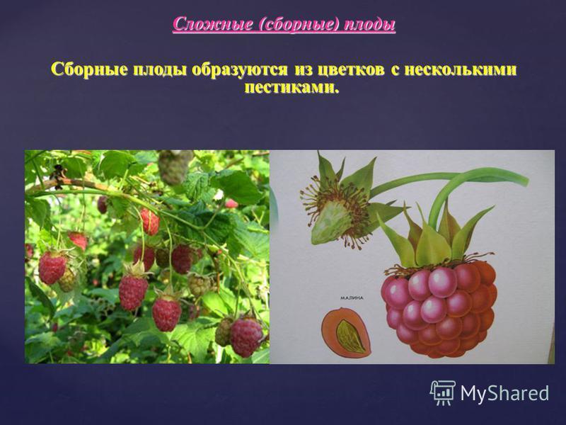 Сложные (сборные) плоды Сборные плоды образуются из цветков с несколькими пестиками.