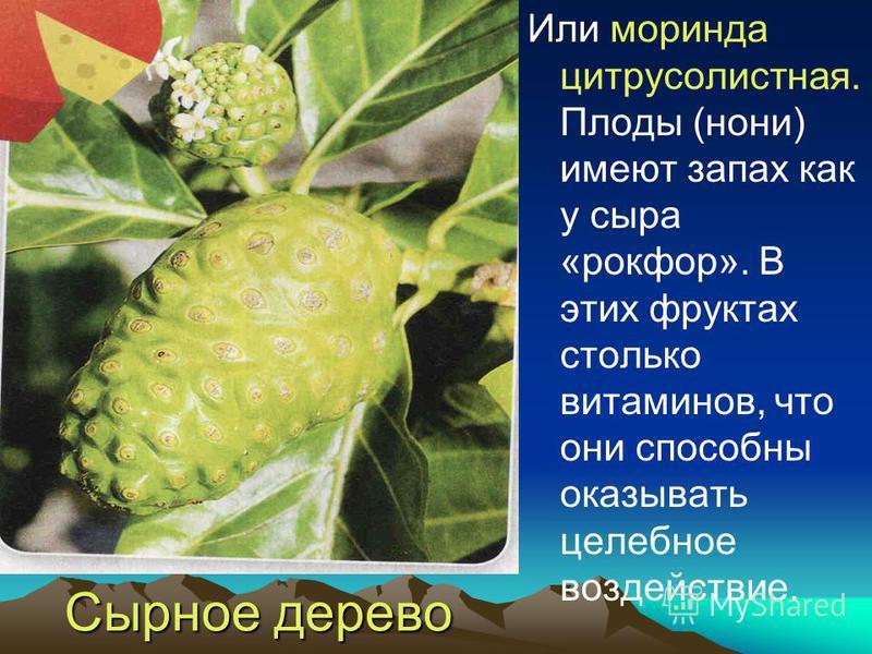 Сырное дерево Или моринда цитрусолистная. Плоды (нони) имеют запах как у сыра «рокфор». В этих фруктах столько витаминов, что они способны оказывать целебное воздействие.