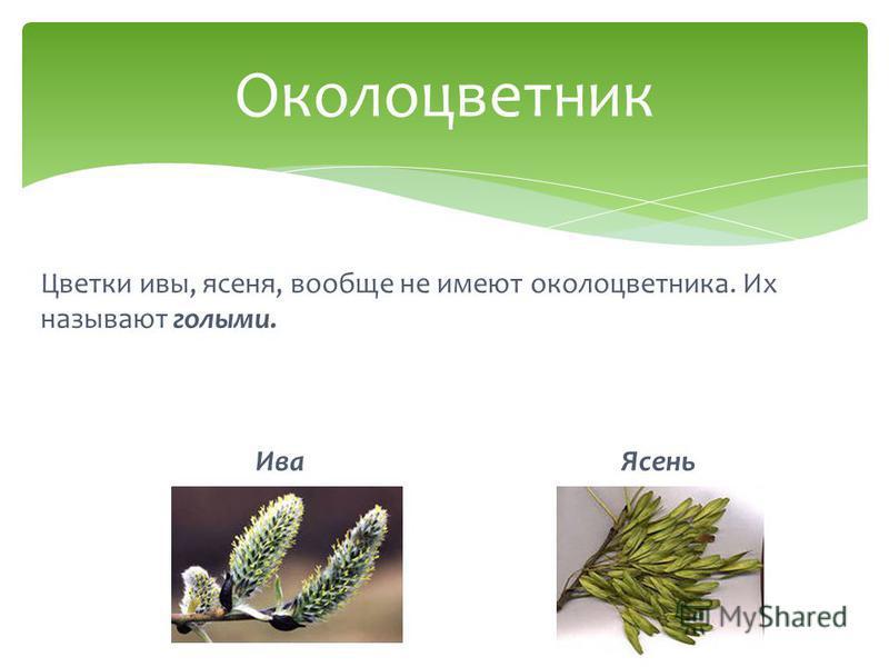 Цветки ивы, ясеня, вообще не имеют околоцветника. Их называют голыми. Ива Ясень Околоцветник