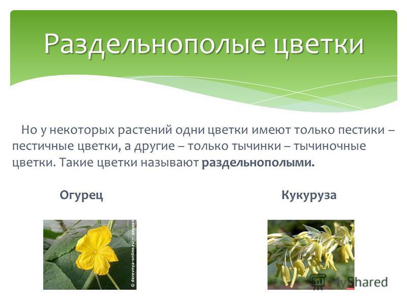 Но у некоторых растений одни цветки имеют только пестики – пестичные цветки, а другие – только тычинки – тычиночные цветки. Такие цветки называют раздельнополыми. Огурец Кукуруза Раздельнополые цветки
