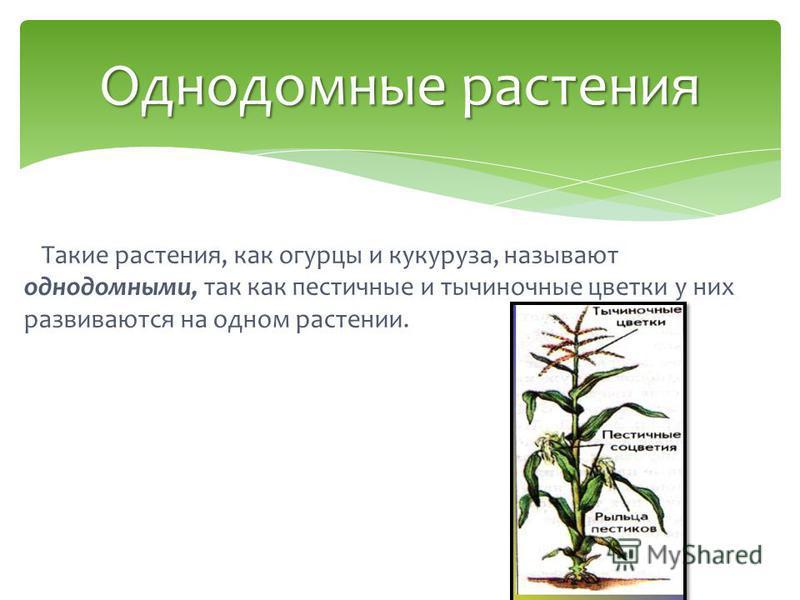 Такие растения, как огурцы и кукуруза, называют однодомными, так как пестичные и тычиночные цветки у них развиваются на одном растении. Однодомные растения