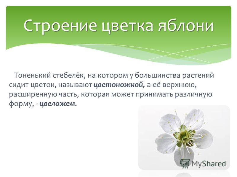 Тоненький стебелёк, на котором у большинства растений сидит цветок, называют цветоножкой, а её верхнюю, расширенную часть, которая может принимать различную форму, - цвеложем. Строение цветка яблони