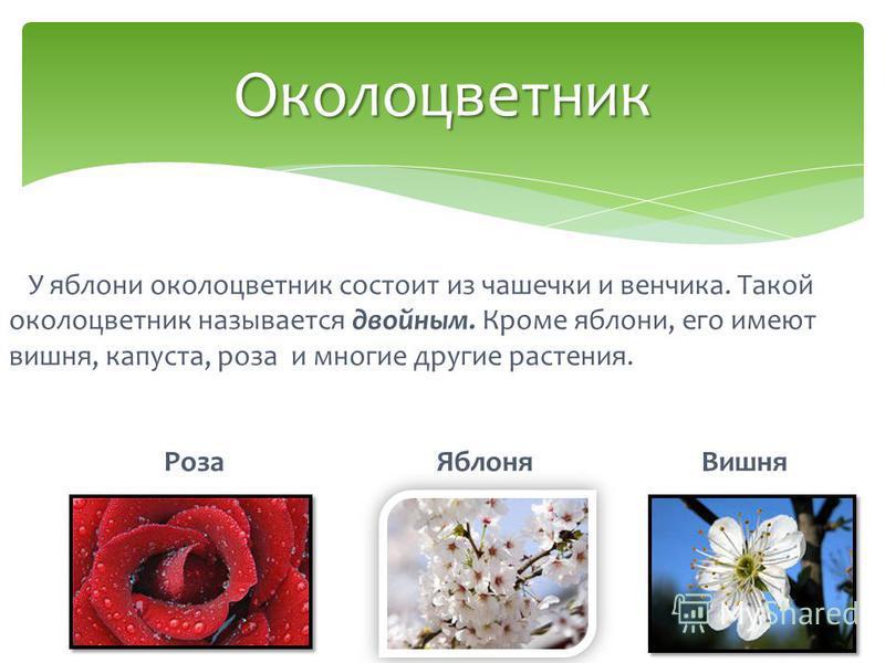 У яблони околоцветник состоит из чашечки и венчика. Такой околоцветник называется двойным. Кроме яблони, его имеют вишня, капуста, роза и многие другие растения. Роза Яблоня Вишня Околоцветник