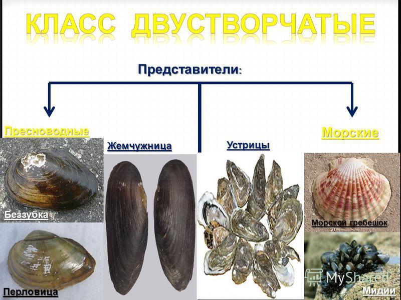 Представители : Представители : Пресноводные Морские Перловица Беззубка Жемчужница Устрицы Мидии Морской гребешок
