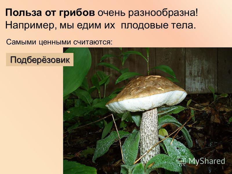 Польза от грибов очень разнообразна! Например, мы едим их плодовые тела. Самыми ценными считаются: Подберёзовик
