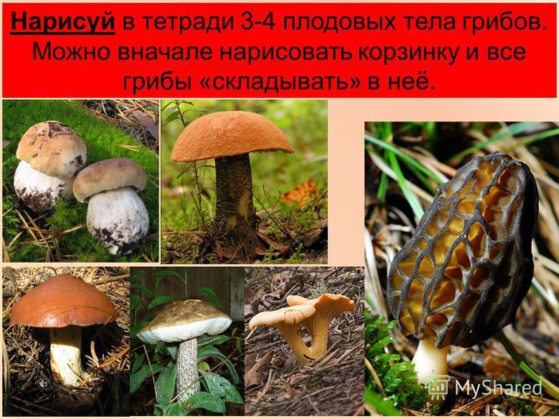 Нарисуй в тетради 3-4 плодовых тела грибов. Можно вначале нарисовать корзинку и все грибы «складывать» в неё.