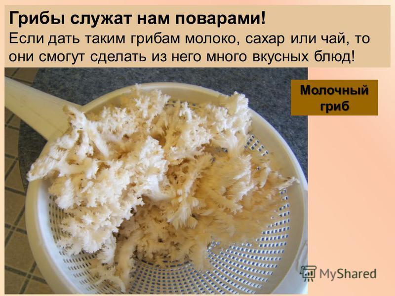 Грибы служат нам поварами! Если дать таким грибам молоко, сахар или чай, то они смогут сделать из него много вкусных блюд! Молочный гриб
