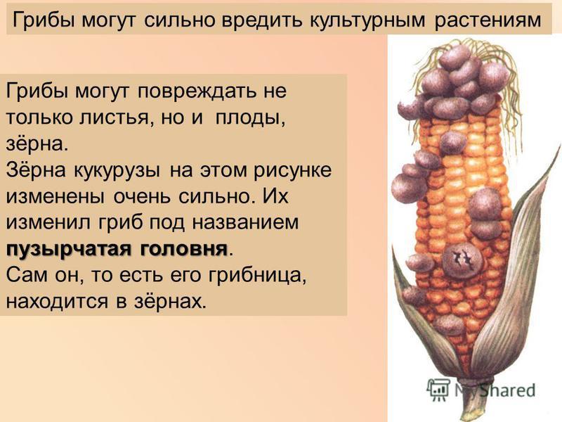 Грибы могут повреждать не только листья, но и плоды, зёрна. Зёрна кукурузы на этом рисунке изменены очень сильно. Их изменил гриб под названием пузырчатая головня пузырчатая головня. Сам он, то есть его грибница, находится в зёрнах. Грибы могут сильн