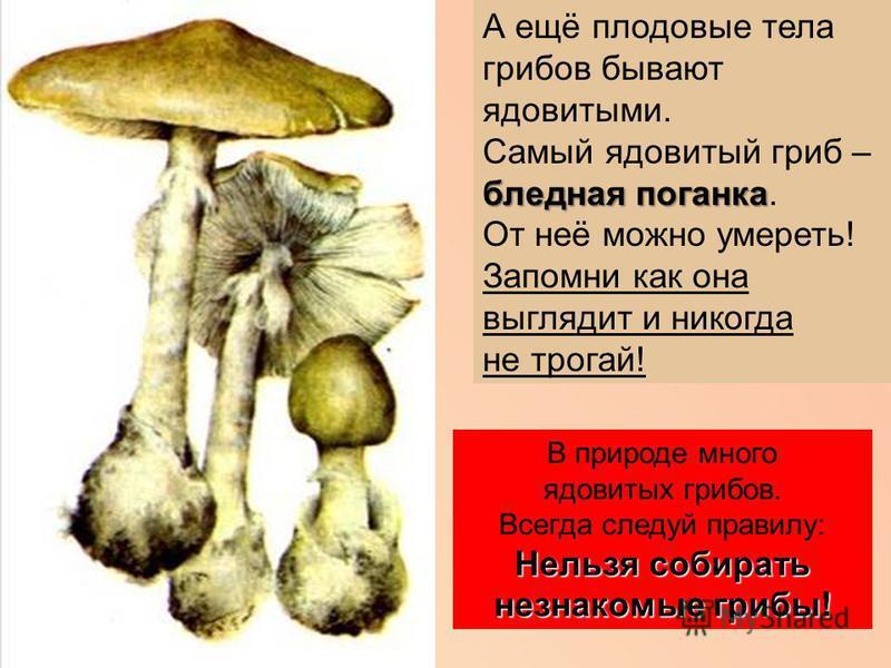 А ещё плодовые тела грибов бывают ядовитыми. бледная поганка Самый ядовитый гриб – бледная поганка. От неё можно умереть! Запомни как она выглядит и никогда не трогай! В природе много ядовитых грибов. Всегда следуй правилу: Нельзя собирать незнакомые