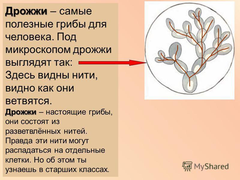 Дрожжи Дрожжи – самые полезные грибы для человека. Под микроскопом дрожжи выглядят так: Здесь видны нити, видно как они ветвятся. Дрожжи Дрожжи – настоящие грибы, они состоят из разветвлённых нитей. Правда эти нити могут распадаться на отдельные клет