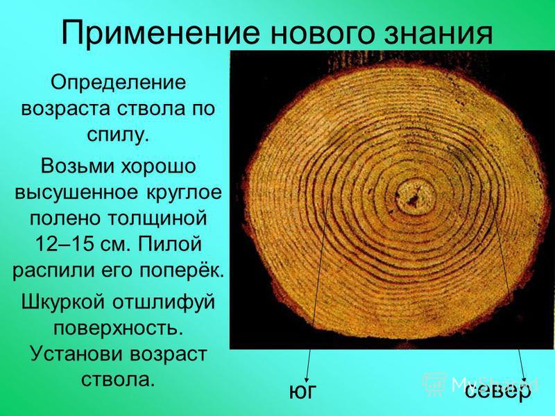 Применение нового знания Определение возраста ствола по спилу. Возьми хорошо высушенное круглое полено толщиной 12–15 см. Пилой распили его поперёк. Шкуркой отшлифуй поверхность. Установи возраст ствола. юг север