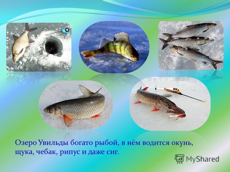 Озеро Увильды богато рыбой, в нём водится окунь, щука, чебак, рипус и даже сиг.