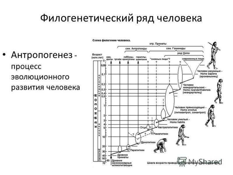 Филогенетический ряд человека Антропогенез - процесс эволюционного развития человека