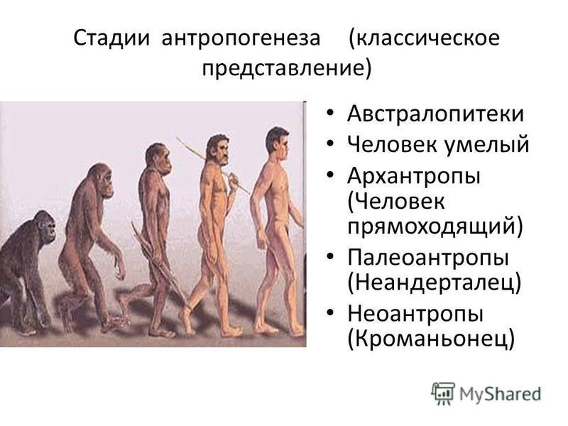 Стадии антропогенеза (классическое представление) Австралопитеки Человек умелый Архантропы (Человек прямоходящий) Палеоантропы (Неандерталец) Неоантропы (Кроманьонец)