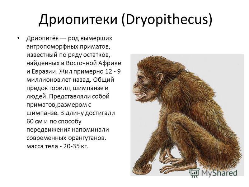 Дриопитеки (Dryopithecus) Дриопите́к род вымерших антропоморфных приматов, известный по ряду остатков, найденных в Восточной Африке и Евразии. Жил примерно 12 - 9 миллионов лет назад. Общий предок горилл, шимпанзе и людей. Представляли собой приматов