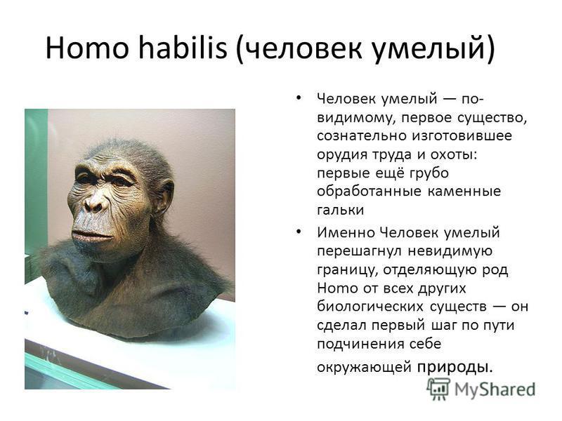 Homo habilis (человек умелый) Человек умелый по- видимому, первое существо, сознательно изготовившее орудия труда и охоты: первые ещё грубо обработанные каменные гальки Именно Человек умелый перешагнул невидимую границу, отделяющую род Homo от всех д