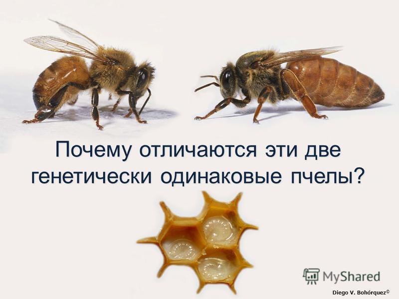 Diego V. Bohórquez © Почему отличаются эти две генетически одинаковые пчелы?