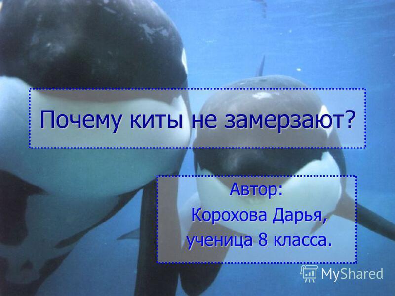 Почему киты не замерзают? Автор: Корохова Дарья, Корохова Дарья, ученица 8 класса. ученица 8 класса.