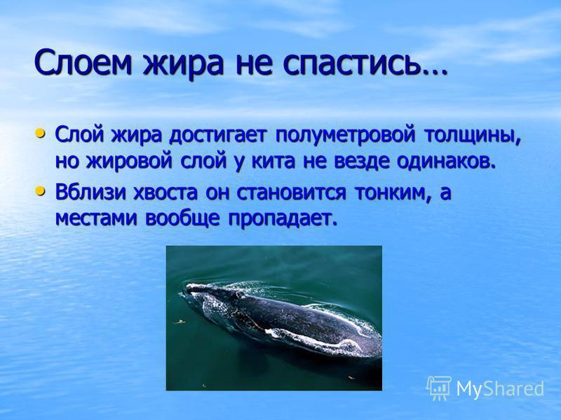 Слоем жира не спастись… Слой жира достигает полуметровой толщины, но жировой слой у кита не везде одинаков. Слой жира достигает полуметровой толщины, но жировой слой у кита не везде одинаков. Вблизи хвоста он становится тонким, а местами вообще пропа