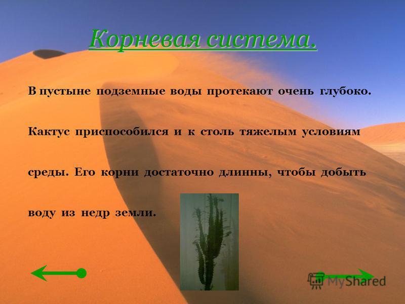 Корневая система. В пустыне подземные воды протекают очень глубоко. Кактус приспособился и к столь тяжелым условиям среды. Его корни достаточно длинны, чтобы добыть воду из недр земли.