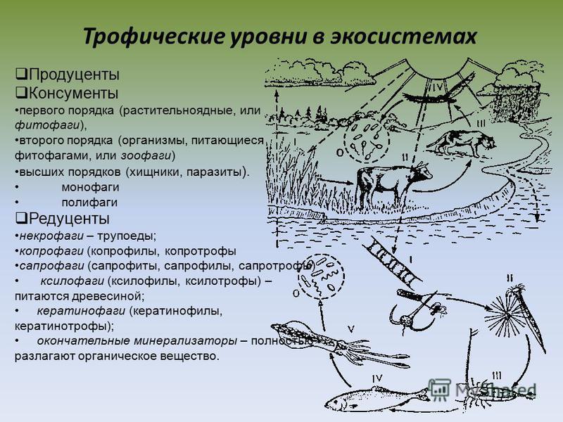 Трофические уровни в экосистемах Продуценты Консументы первого порядка (растительноядные, или фитофаги), второго порядка (организмы, питающиеся фитофагами, или зоофаги) высших порядков (хищники, паразиты ). монофаги полифаги Редуценты некрофаги – тру