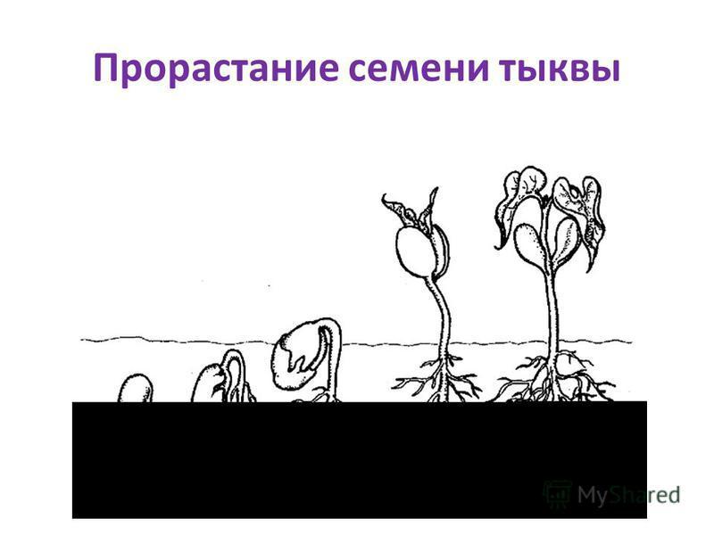 Прорастание семени тыквы