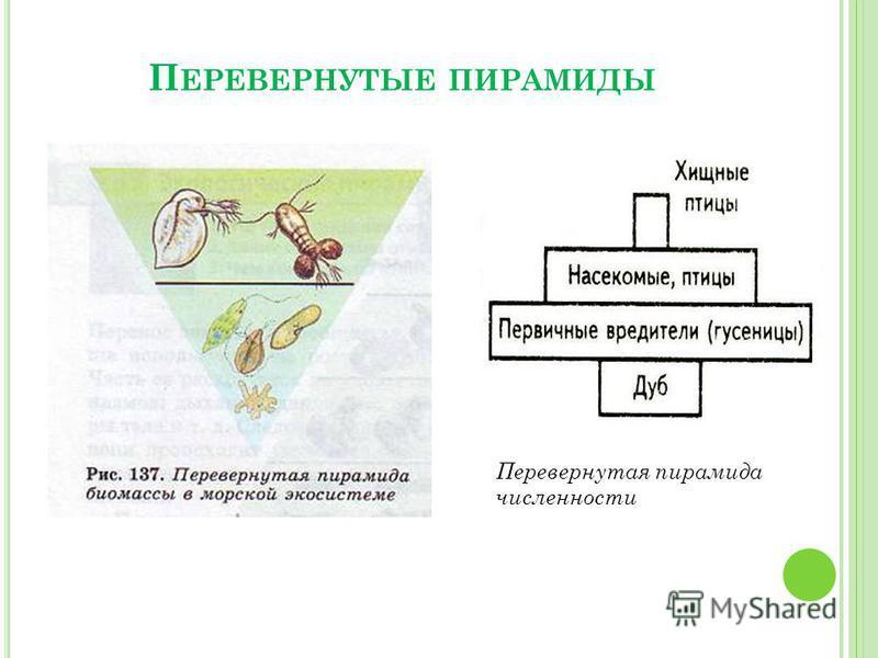 П ЕРЕВЕРНУТЫЕ ПИРАМИДЫ Перевернутая пирамида численности