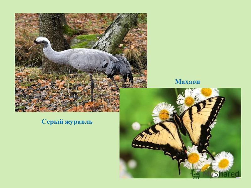 Махаон Серый журавль