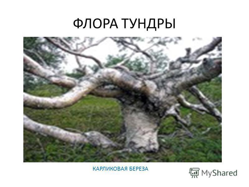 ФЛОРА ТУНДРЫ КАРЛИКОВАЯ БЕРЕЗА